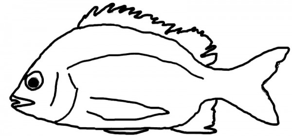 Pikey-bream-Acanthopagrus-berda outline